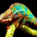 Chamaeleonidae o camaleón