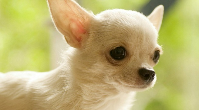 Canis lupus familiaris o Perro