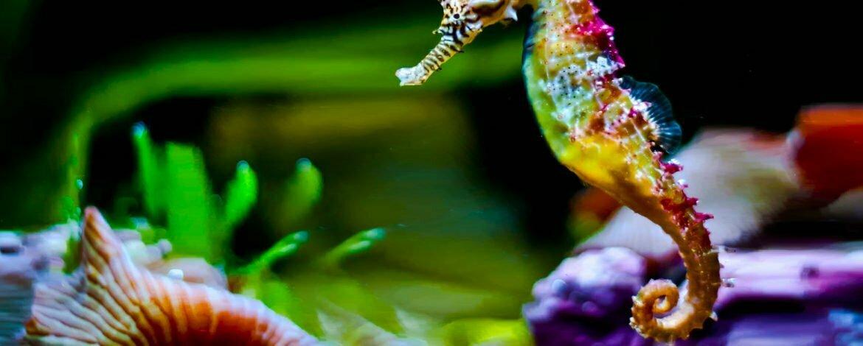 Curiosidades sobre los caballitos de mar