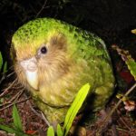 El kakapo, un curioso loro gigante