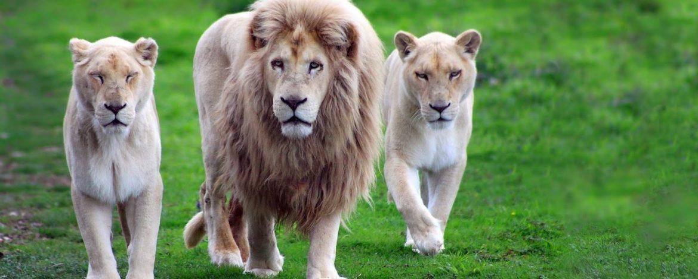 Leon o Panthera leo