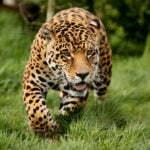 Panthera pardus o Leopardo