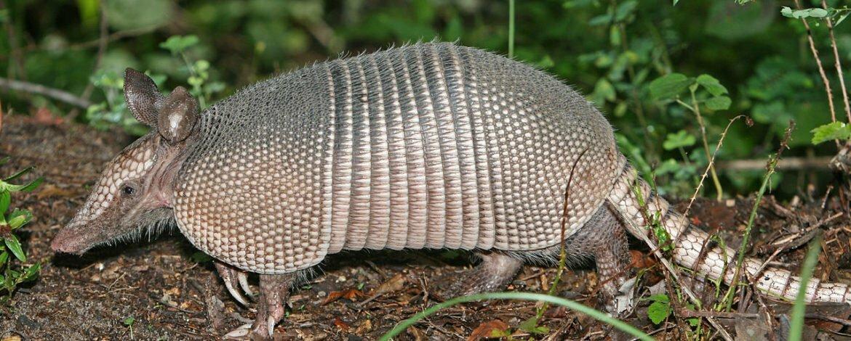 Armadillo – Dasypodidae