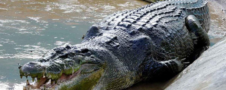 Cocodrilo – Crocodylidae
