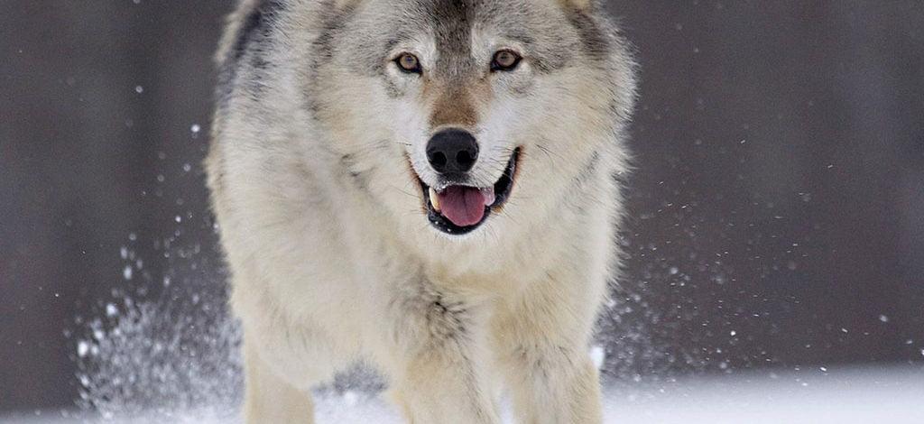 Lobo o Canis lupus