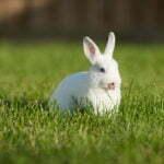 Conejo sacando la lengua