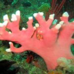 Noble Coral
