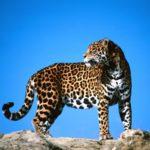 Jaguar o Pantera Onca