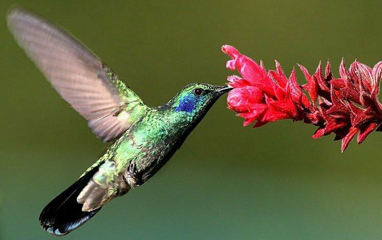Zunzuncito o pájaro mosca Colibrí
